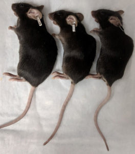 mice lying down