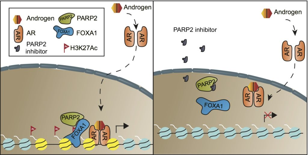 Model depicting the mechanism by which selective targeting of PARP-2 attenuates FOXA1/AR signaling and inhibits prostate cancer growth